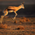 springbok antelope jumping stock photo © ecopic