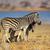 シマウマ · 見える · 自然 · 背景 · アフリカ - ストックフォト © ecopic
