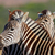 zebra · portre · Afrika · savan · safari · serengeti - stok fotoğraf © ecopic