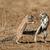 играет · землю · Белки · два · пустыне · ЮАР - Сток-фото © ecopic