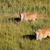 eland antelopes in grassland stock photo © ecopic