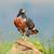 jackal buzzard stock photo © ecopic
