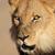 africano · leão · retrato · grande · masculino · deserto - foto stock © ecopic
