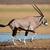 running gemsbok antelope stock photo © ecopic