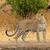 leopardo · alertar · big · cat · caminhada · olhando · poderoso - foto stock © ecopic