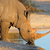 white rhinoceros drinking stock photo © ecopic