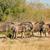 Herde · blau · Trinkwasser · Pool · Savanne · Südafrika - stock foto © ecopic