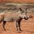 warthog stock photo © ecopic