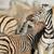 plains zebras   etosha national park stock photo © ecopic