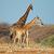 giraffes in natural habitat stock photo © ecopic