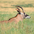 roan antelope stock photo © ecopic