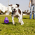 Pitbull Running after Dog Chew Toy stock photo © eldadcarin