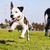mid air running pitbull dog stock photo © eldadcarin