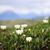 高山 · 草原 · 花 · 青 · 白 · 山 - ストックフォト © elenaphoto