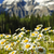 Ромашки · горные · луговой · весны · фон - Сток-фото © elenaphoto
