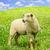 овец · изолированный · белый · оранжевый · желтый · шерсти - Сток-фото © elenaphoto
