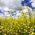 Canola plants in field stock photo © elenaphoto