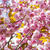 Cherry blossoms on spring cherry tree branches stock photo © elenaphoto