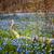 primavera · azul · flores · tapete · cedo - foto stock © elenaphoto