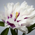 one peony flower stock photo © elenaphoto