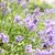 Bush · floraison · lavande · été · domaine · nature - photo stock © elenaphoto