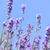 Lavender blooming in a garden stock photo © elenaphoto