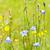 kék · virágok · legelő · fehér - stock fotó © elenaphoto
