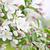 appelboom · voorjaar · boomgaard · boom - stockfoto © elenaphoto