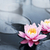 蓮 · 花 · ピンク · 花弁 · 湖 - ストックフォト © elenaphoto