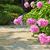 garden with pink peonies stock photo © elenaphoto