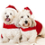 Two cute dogs in santa outfits stock photo © elenaphoto