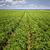 ジャガイモ · フィールド · 美しい · 緑 · 未熟 · 農業 - ストックフォト © elenaphoto