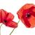 pavot · fleurs · blanche · deux · rouge · isolé - photo stock © elenaphoto