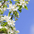 blooming apple tree branches stock photo © elenaphoto