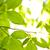yeşil · bahar · yaprakları · karaağaç · temizlemek · çevre - stok fotoğraf © elenaphoto