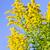 Goldenrod plant stock photo © elenaphoto
