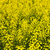 Canola plants stock photo © elenaphoto