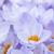 paars · krokus · bloesems · macro · groep · bloem - stockfoto © elenaphoto