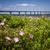 wild roses at confederation bridge stock photo © elenaphoto