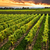vineyard at sunset stock photo © elenaphoto