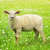 cute young sheep stock photo © elenaphoto