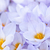 roxo · amarelo · açafrão · jardim · flor · folha - foto stock © elenaphoto
