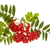 mountain ash berries stock photo © elenaphoto