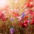 sok · piros · pipacsok · mező · tavasz · virág - stock fotó © elenaphoto