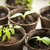 seedlings growing in peat moss pots stock photo © elenaphoto
