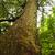 evergreen · albero · corteccia · texture · tramonto · muro - foto d'archivio © elenaphoto
