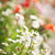 çiçekli · gelincikler · papatyalar · yeşil · yaz · alan - stok fotoğraf © elenaphoto