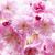 Cherry blossoms on spring cherry tree stock photo © elenaphoto