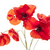 pavot · fleurs · blanche · plusieurs · rouge · isolé - photo stock © elenaphoto