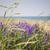 wildflowers on prince edward island stock photo © elenaphoto